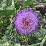 下砥上ガーデンプレイではアーティーチョークの花が咲いてます!