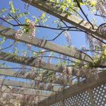 藤の花が咲きました!